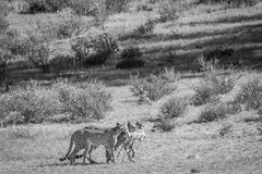 Cheetahs with a baby Springbok kill. Stock Image