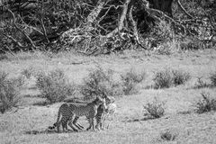 Cheetahs with a baby Springbok kill. Royalty Free Stock Photography