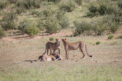 Cheetahs with a baby Springbok kill. Stock Photography