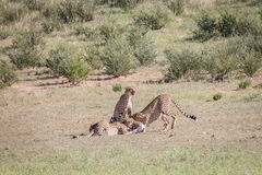 Cheetahs with a baby Springbok kill. Royalty Free Stock Photos