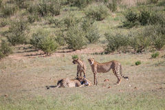 Cheetahs with a baby Springbok kill. Stock Photos