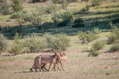 Cheetahs with a baby Springbok kill. Stock Photo