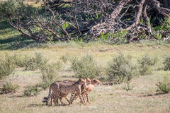 Cheetahs with a baby Springbok kill. Royalty Free Stock Images