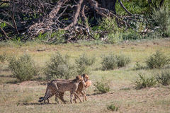Cheetahs with a baby Springbok kill. Royalty Free Stock Photo