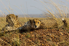 Cheetahs brothers Stock Photography