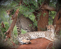 Cheetahs royalty free stock image