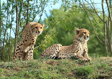 Cheetahs Stock Photo