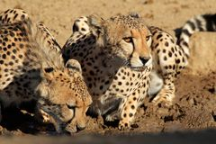 Cheetahs drinking water Royalty Free Stock Photos