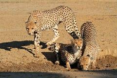 Cheetahs drinking water Stock Image