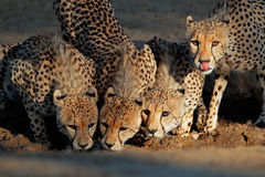 Cheetahs drinking water Royalty Free Stock Photography