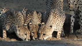 Cheetahs drinking water stock footage