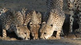 Cheetahs drinking water stock footage