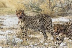Cheetahs after eating with blood in mouth, Etosha Park royalty free stock photo