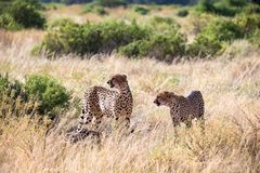 Cheetahs eating in the middle of the grass stock photo