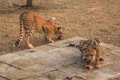 Cheetahs eating royalty free stock photos