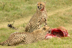 Cheetahs feeding. Cheetahs with kill eating in a game reserve in South Africa Stock Photo