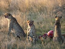 Cheetahs feeding Stock Images