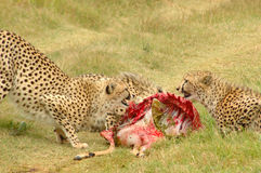 Cheetahs feeding. A beautiful group of wild African Cheetahs with kill feeding and showing interaction in a game park in South Africa Stock Photo