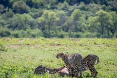 Cheetahs feeding on a male Impala kill royalty free stock image