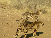 Southern african animals. Cheetahs in a game reserve Royalty Free Stock Photos