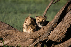 Cheetahs in golden light. Two brother cheetahs behind a log Royalty Free Stock Images
