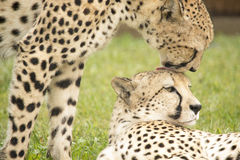 Cheetahs grooming Stock Photo
