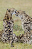 Cheetahs grooming, South Africa. Cheetah brothers (Acinonyx jubatus) grooming each other in South Africa Royalty Free Stock Image