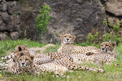 Cheetahs. Group of cheetahs on field Stock Image