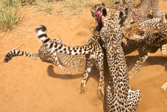 Cheetahs in Harnas. Cheetahs fighting for food in Harnas Royalty Free Stock Photos
