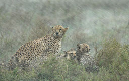 Cheetahs in heavy rain, Serengeti, Tanzania Stock Image