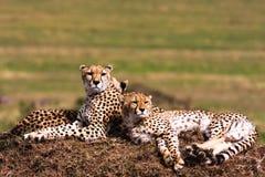 Cheetahs on the hill. Observation point.  Masai Mara, Kenya Stock Photos