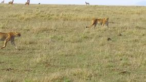 Cheetahs hunting in savanna at africa stock video