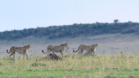 3 Cheetahs hunting Stock Photos
