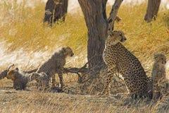 Cheetahs in Kalahari Desert. Southern Africa Royalty Free Stock Photos
