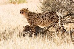 Cheetahs in the Kgalagadi, South Africa. Three cheetahs in the Kgalagadi, South Africa Royalty Free Stock Photography