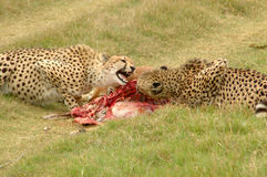 Cheetahs with kill. Fighting while feeding in a game reserve in South Africa Royalty Free Stock Photography