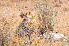 Cheetahs At A Kill royalty free stock photo