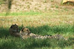 Cheetahs laying in grass Royalty Free Stock Photo