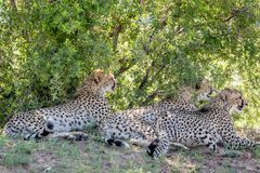 Cheetahs laying in the grass under a bush royalty free stock photo