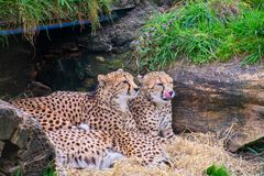 Cheetahs laying and huddled together. In a Den royalty free stock photography