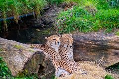 Cheetahs laying and huddled together. In a Den stock photos