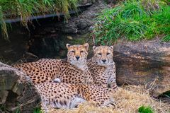 Cheetahs laying and huddled together. In a Den stock image