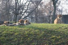 Cheetah cubs laying togehter with their family. the cheetah is known for its speed royalty free stock photo