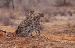 2 Cheetahs Royalty Free Stock Photography