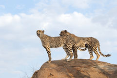Cheetahs looking for prey Royalty Free Stock Photo