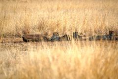 Cheetahs lying in the shade in Pilanesberg National Park. Cheetahs lying in the shade, surrounded by tall, dry grass, in Pilanesberg National Park, South Africa royalty free stock photos