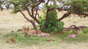 Cheetahs lying under tree in savanna at africa stock footage