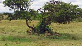 Cheetahs lying under tree in savanna at africa stock video