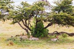 Cheetahs lying under tree in savannah at africa Stock Image