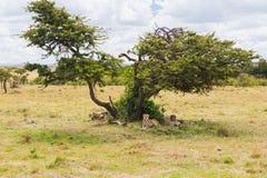 Cheetahs lying under tree in savannah at africa Royalty Free Stock Photo